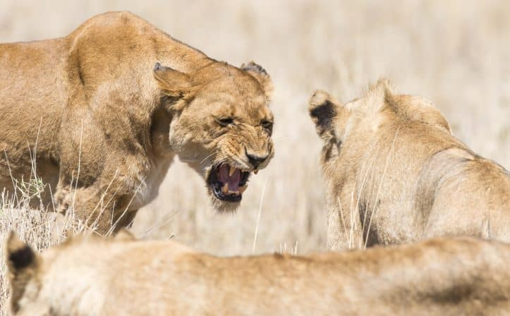 Criminal defense challenges- Photo of angry lion