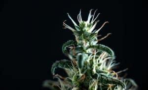 420 marks marijuana and my Fairfax criminal lawyer blog anniversary- marijuana plant photo