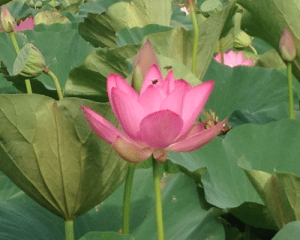 Lotus photo - Fairfax Criminal/DUI Lawyer